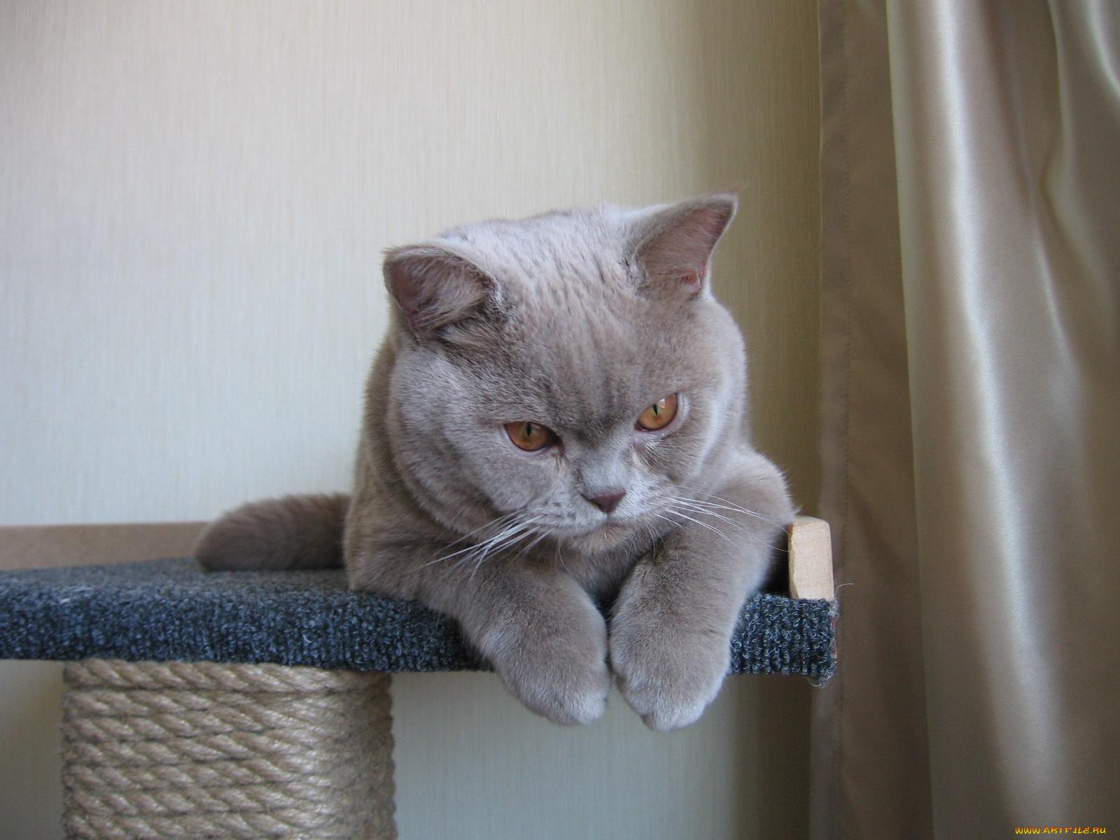 Приколы картинка кот британец, открытки подружкам прикольные