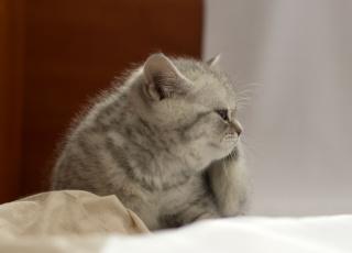 Картинка животные коты британец котёнок