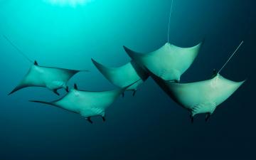 обоя животные, рыбы, скат, соломоновы, острова, гигантский, морской, дьявол, меланезия, тихий, океан, манта