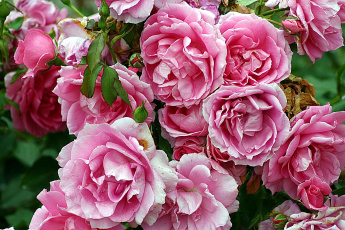 обоя цветы, розы