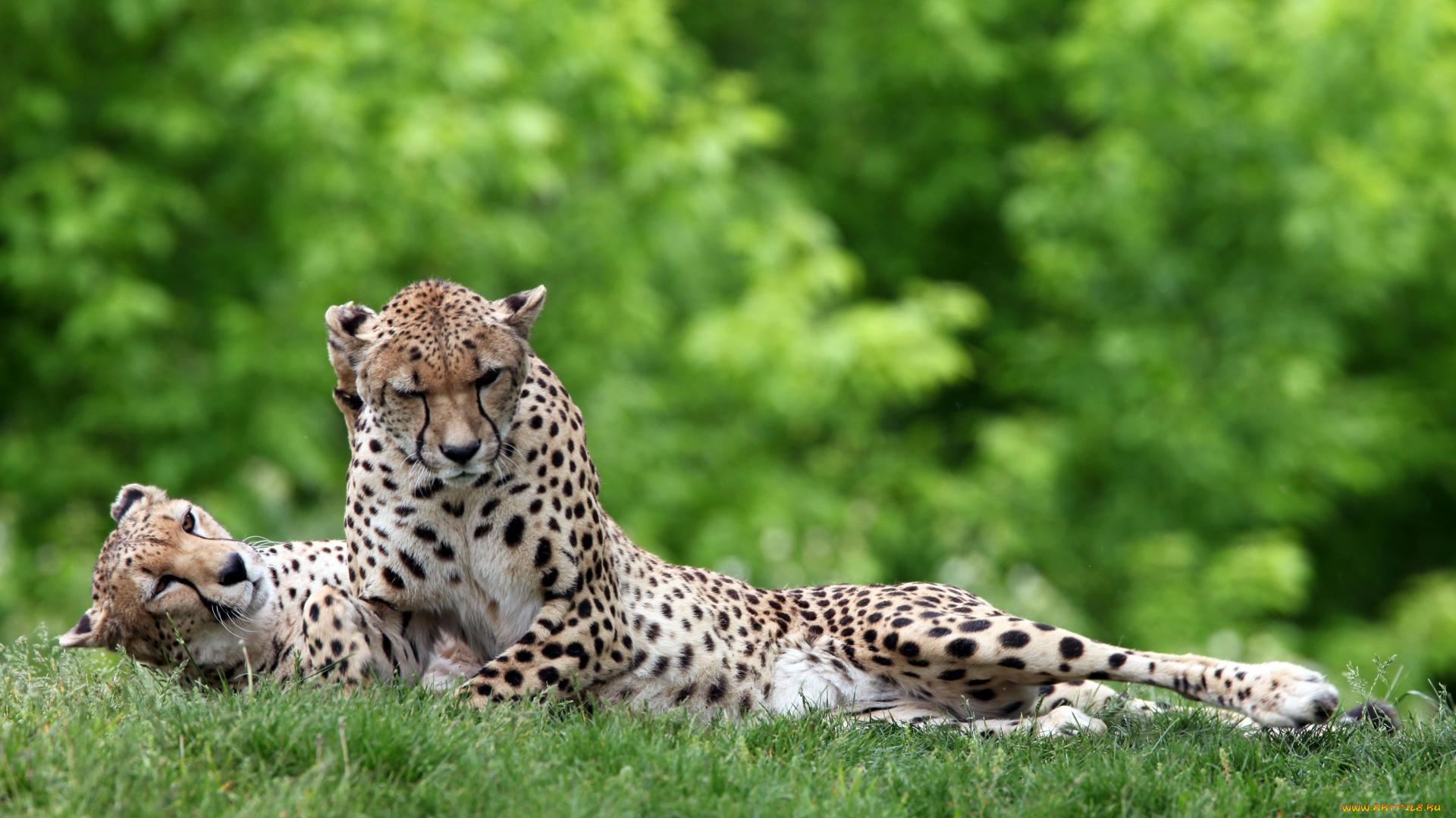 Леопард в траве без смс