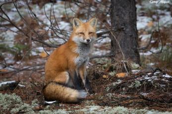 обоя животные, лисы, лиса, природа, осень