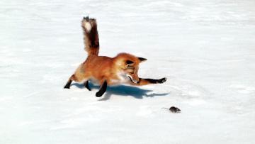обоя животные, лисы, жертва, добыча, погоня, мышь, лиса, хищник, снег, зима, охота