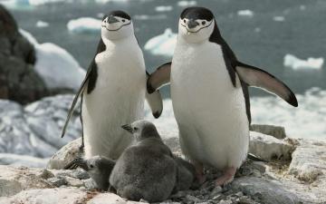 обоя животные, пингвины, лед, море, камни, скалы, пингвинята, птенцы, пара