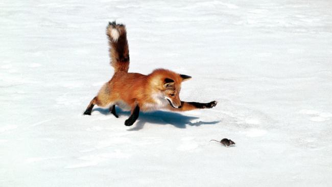 Обои картинки фото животные, лисы, жертва, добыча, погоня, мышь, лиса, хищник, снег, зима, охота