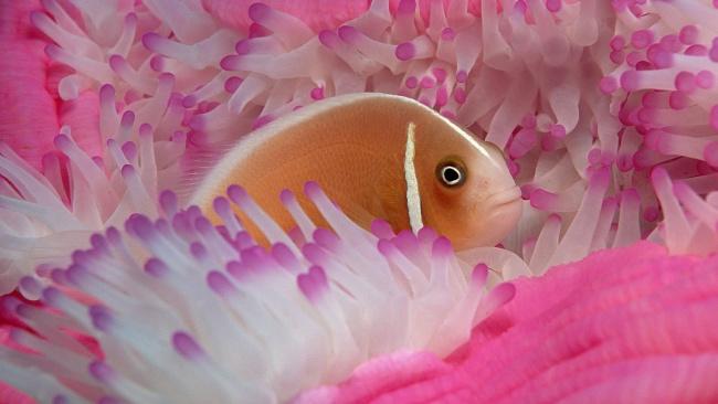 Обои картинки фото животные, рыбы, анемоны, рыбка, актиния, щупальца