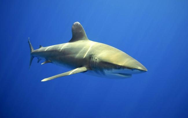 Обои картинки фото животные, акулы, акула, вода, глубина