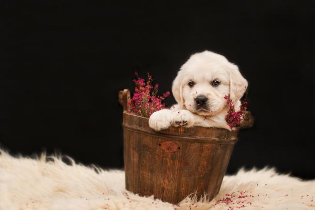 Обои картинки фото животные, собаки, милый, ретривер, щенок