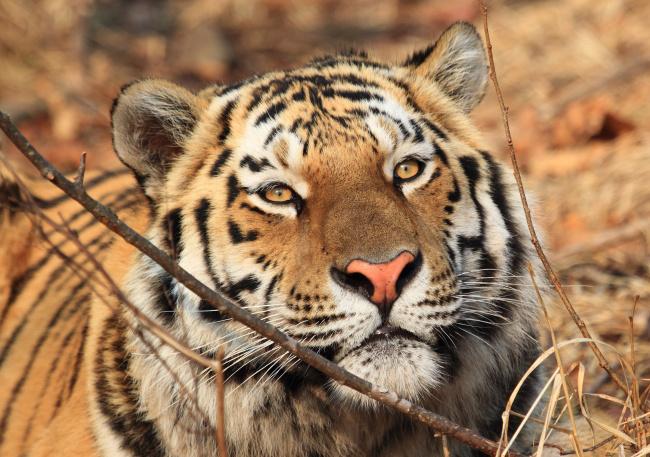 Обои картинки фото амурский тигр, животные, тигры, тигр, амурский
