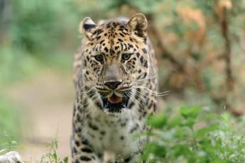 Картинка животные леопарды хищник морда
