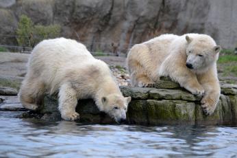обоя животные, медведи, водоем, двое, камень, полярный, белый