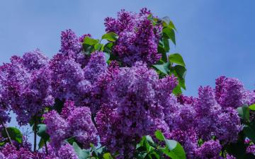 обоя цветы, сирень, небо, листья, фиолетовый