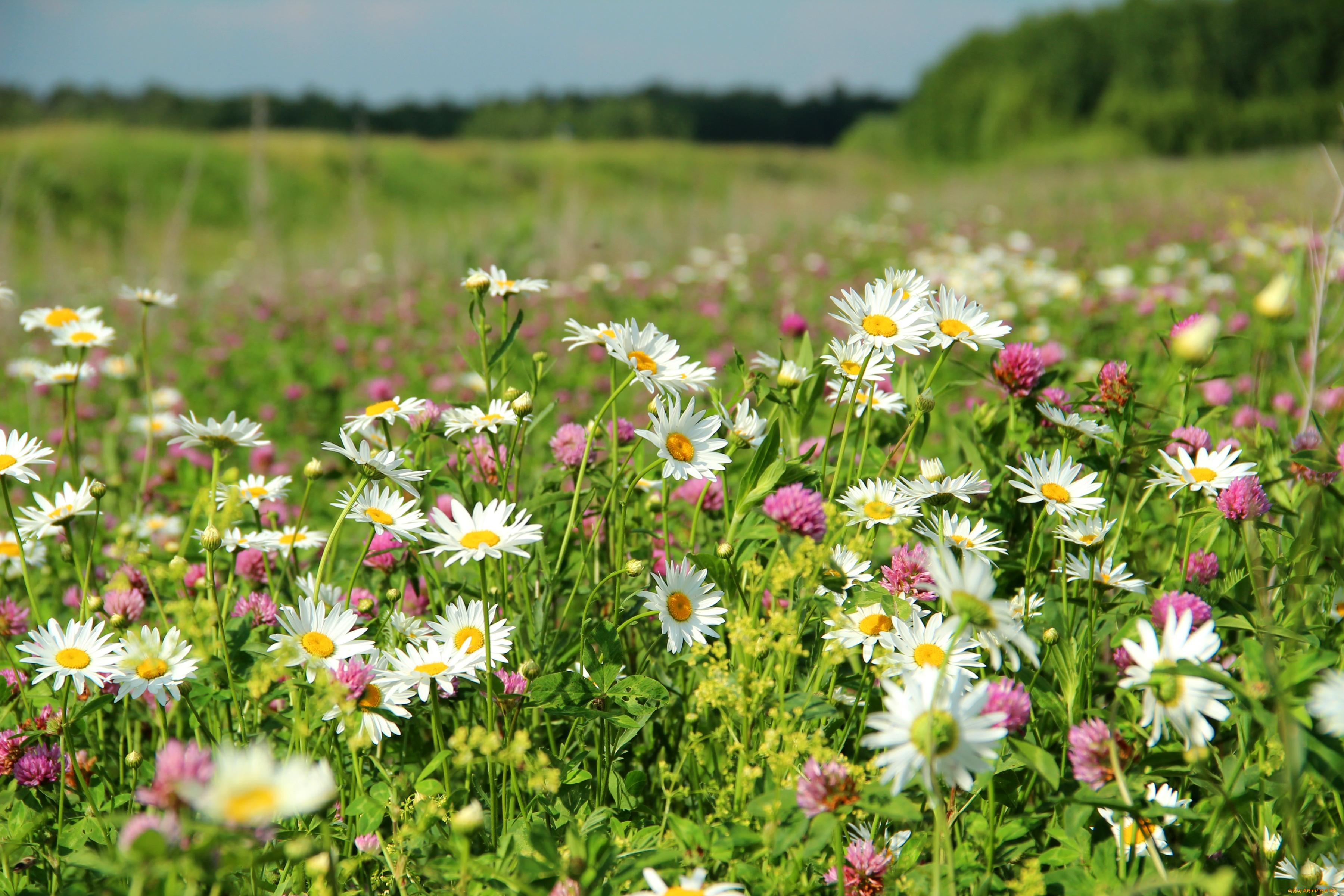 Картинки лето полевые цветы