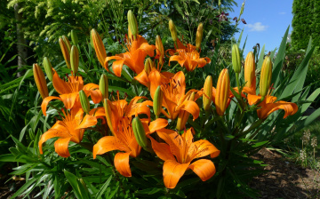 Картинка цветы лилии лилейники оранжевый тигровая лилия
