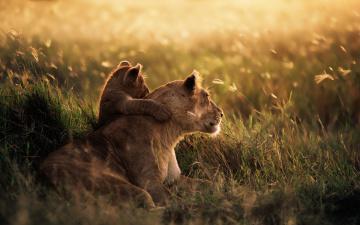 Картинка животные львы сафари лев