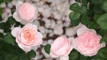 Картинка цветы розы роза цветение rose bloom