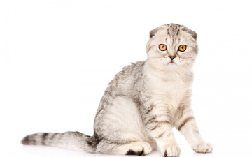 Картинка животные коты животное кот вислоухий взгляд окрас фон