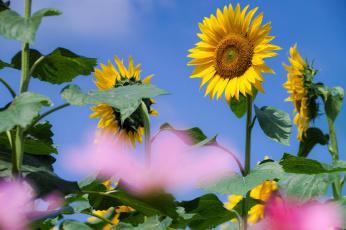 Картинка цветы подсолнухи солнечно небо размытость