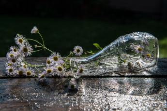 обоя цветы, ромашки, ваза, капли