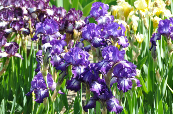 обоя цветы, ирисы, май, флора, весна, красота