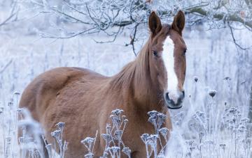 обоя животные, лошади, иней, конь, трава, лошадь