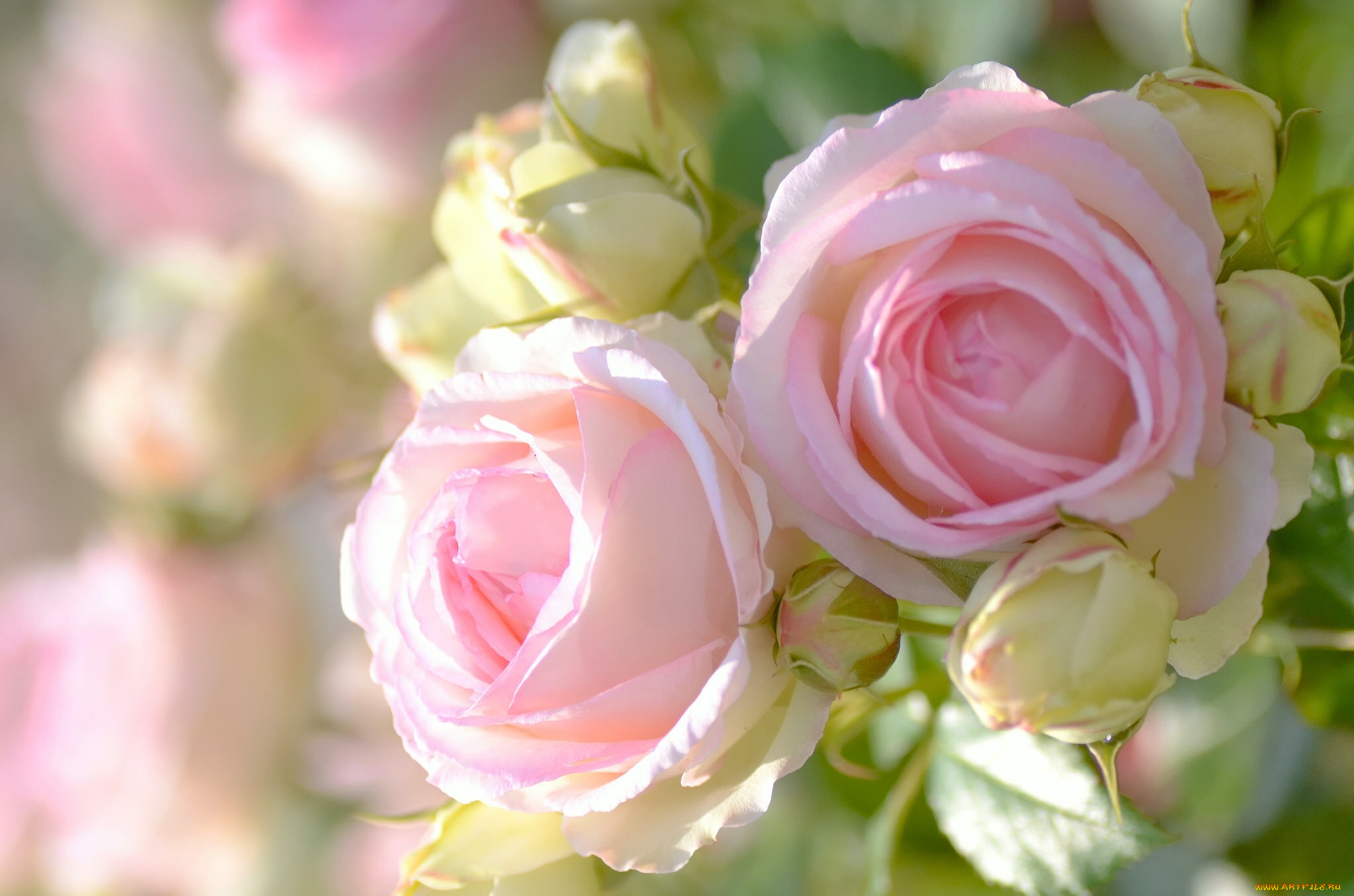 роза бутон макро загрузить