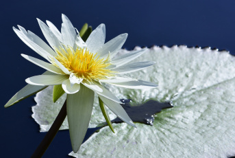 обоя цветы, лилии водяные,  нимфеи,  кувшинки, природа, вода, цветение, листья, кувшинка