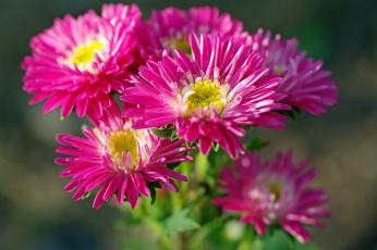 обоя цветы, астры, дача, красота, однолетники, осень, природа, растения, розовый, цвет, флора