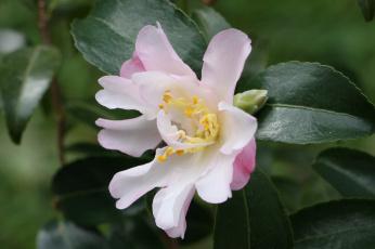 обоя цветы, камелии, цветение, камелия, нежность, розовая, лепестки, листья, бутон