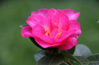 обоя цветы, камелии, листья, камелия, кустарник, цветение, бутон, leaf, camellia, shrubs, flowering, bud