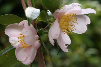 обоя цветы, камелии, нежность, цветение, листья, бутон, камелия, лепестки, розовая