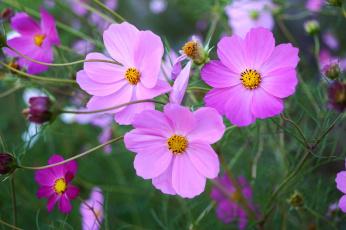 обоя цветы, космея, фон, лепестки