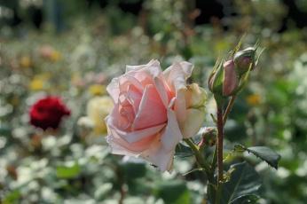 обоя цветы, розы, лето, клумба