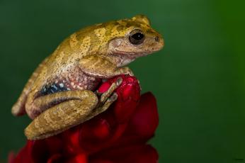 обоя животные, лягушки, цветок, окрас, лягушка