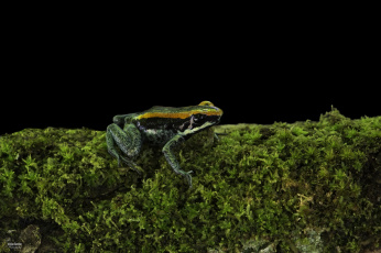обоя животные, лягушки, зеленый, лягушка, мох, темный, фон