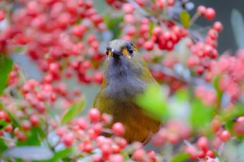 обоя животные, птицы, природа, птица, дерево, ветки, ягоды