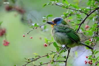 обоя животные, птицы, ветки, птица, дерево, ягоды, природа