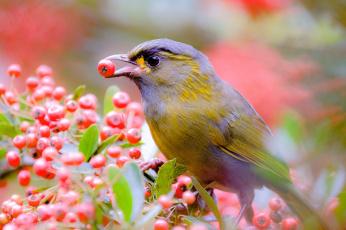 обоя животные, птицы, ягоды, ветки, дерево, птица, природа