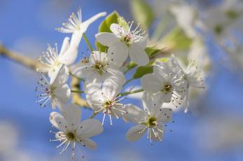 обоя цветы, цветущие деревья ,  кустарники, лепестки, весна, сад