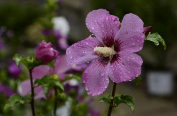 обоя цветы, гибискусы, гибискус, листики, лепестки, ярко, цветение, тычинки