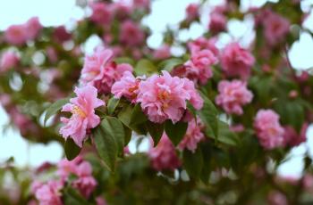 обоя цветы, камелии, камелия, бутон, розовая, лепестки, листья, цветение, нежность