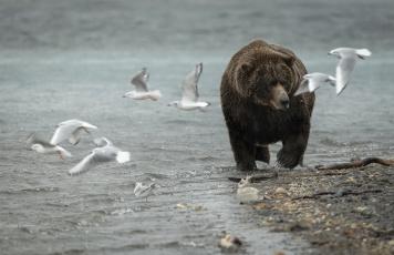 обоя животные, медведи, природа, медведь, чайки