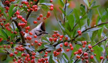 обоя животные, птицы, ягоды, дерево, ветки, природа, птица