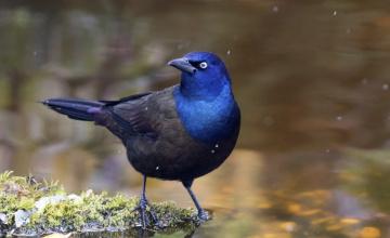 обоя обыкновенный гракл, животные, птицы, капли, птица, вода
