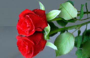 Картинка цветы розы отражение