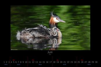 обоя календари, животные, 2016, птенец, малыш, чомга, июнь