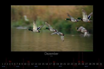 обоя календари, животные, 2016, утки, декабрь