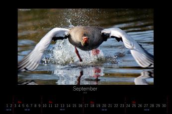 обоя календари, животные, брызги, гусь, сентябрь, 2016