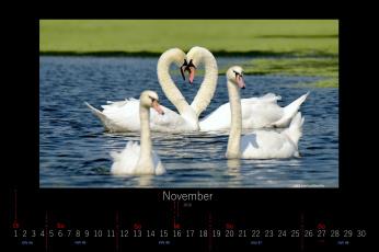обоя календари, животные, лебеди, ноябрь, 2016