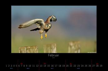 обоя календари, животные, летит, сокол, птица, февраль, 2016